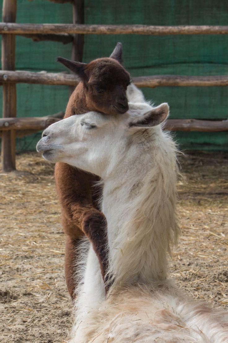 Alpaka csikó az anyjával. Baby alpaca with his mother.