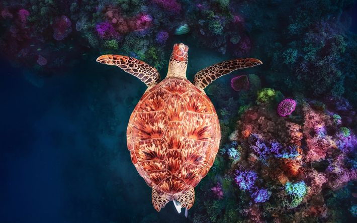 Download wallpapers green turtle, coral reef, beautiful turtle, top view, underwater world, Mayotte, Coral reef at NGouja