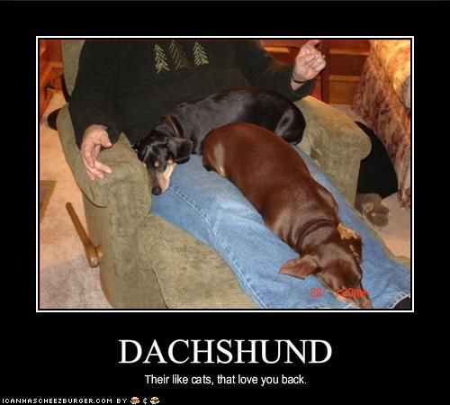 Dachshunds are like cats, but love you back.