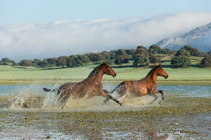 Andalusian galloping through the water.jpg - Two Andalusian mares galloping…