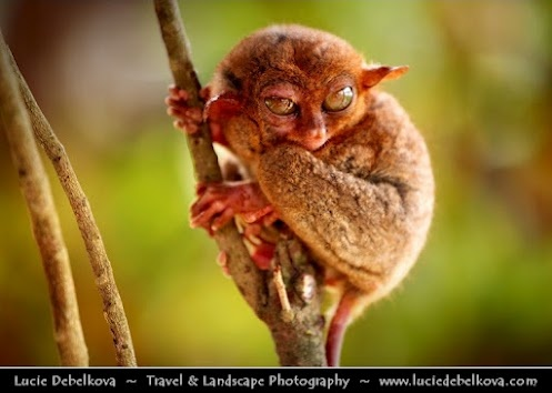 Philippines - Jedi Yoda from Star Wars alias One of the Smallest Known Primates - Philippine Tarsier from Bohol Island    The Philippine tarsier, (Tarsius syrichta) is very peculiar small animal. In fact it is one of the smallest known primates, no larger than a adult men's hand. Mostly active at night, it lives on a diet of insects.