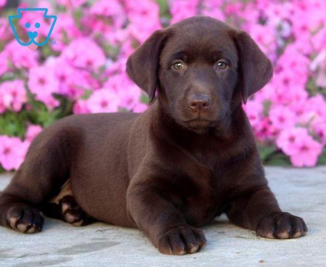 Toby Labrador Retriever Chocolate Puppy For Sale Keystone