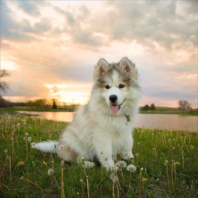 Mocha Is A Three Month Old Wooly Siberian Husky But Doesn T She Look A Bit Like A Malamute Or A Fuzzy Bear Huskies On Instagram Best Dogs On Instagram
