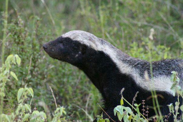 Honey badger - Kruger Park