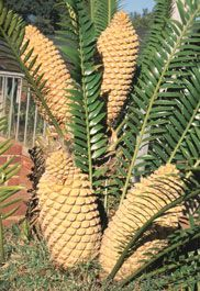 Encephalartos natalensis female plant with cones          Natal Cycad      Natalbroodboom      3-4 m  (6,5)   SA no 10