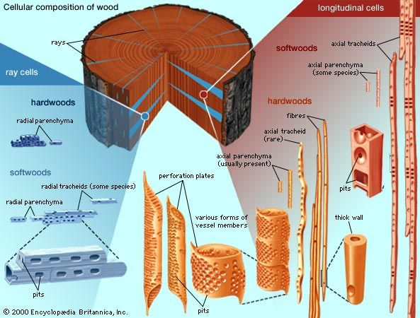 wood: cellular composition of wood