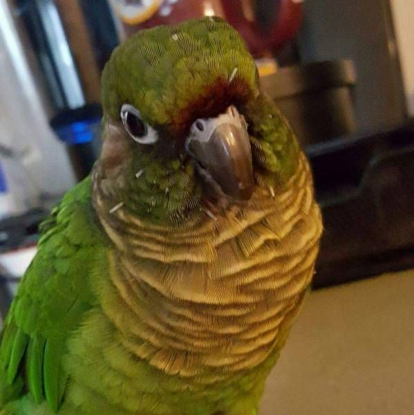 LOST CONURE: 01/02/2017 - Severn, Hanover, Maryland, MD, United States. Ref#: L28018 - #ParrotAlert #LostBird #LostParrot #MissingBird #MissingParrot #LostConure #MissingConure