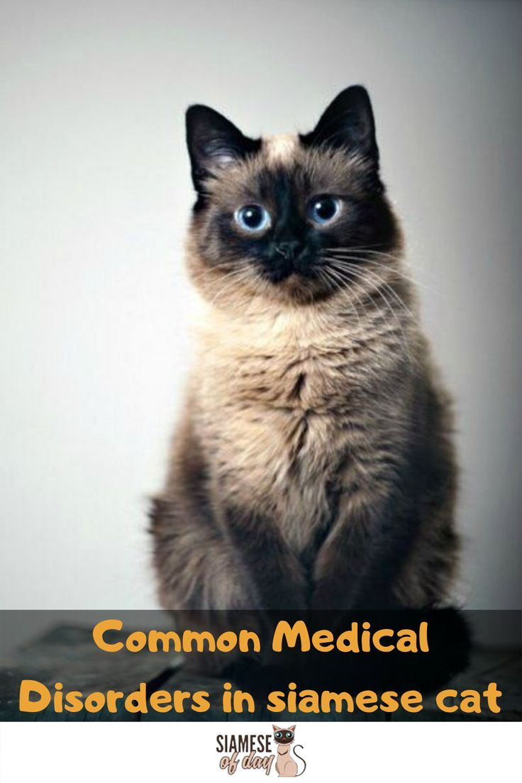 Siamese Cat S Common Medical Disorders Siameseofday In 2020 Siamese Cats Siamese Cats