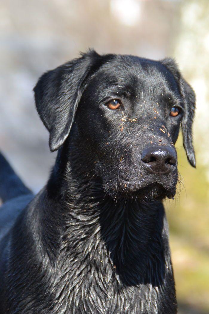 Labrador Retriever                                                                                                                                                                                 Plus