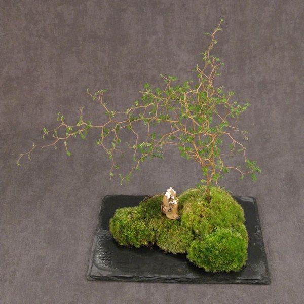 Les 10 meilleures images du tableau plantes kokedama sur for Plante kokedama