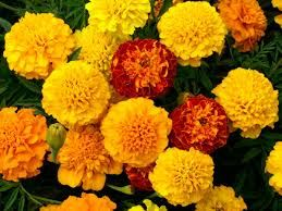 Marigold - affection, remembrance, October birth flower