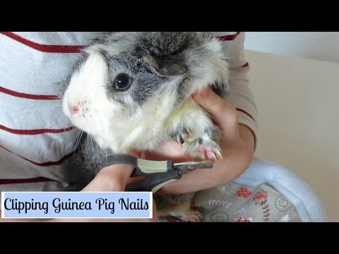 HOW TO: Trim Your Guinea Pig's Nails With Ease! | Squeak Dreams - YouTube