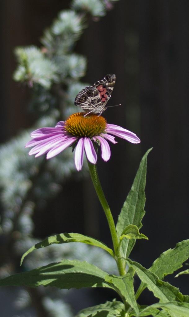 Butterfly on Cone FlowerCones Flower