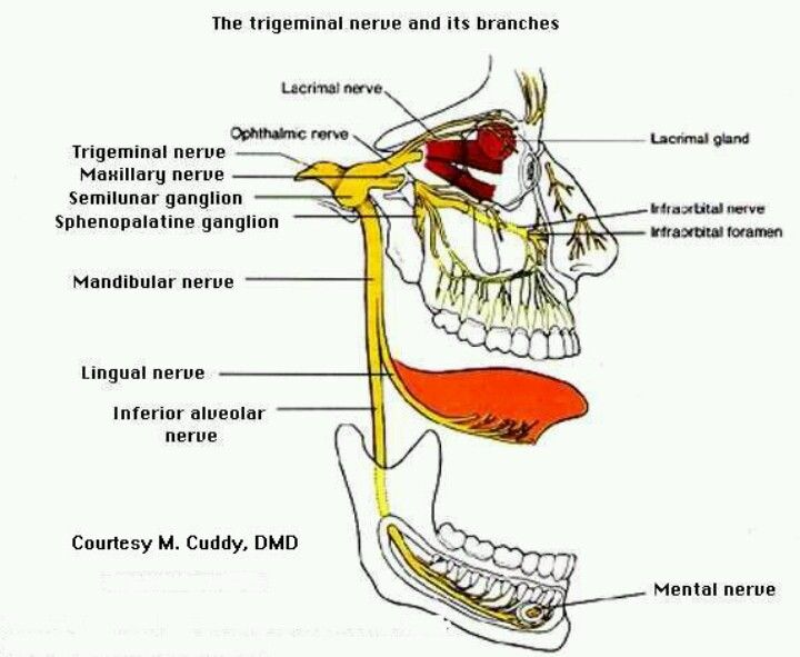 Neurology Trigeminal nerve distribution Very important to know it, doctors