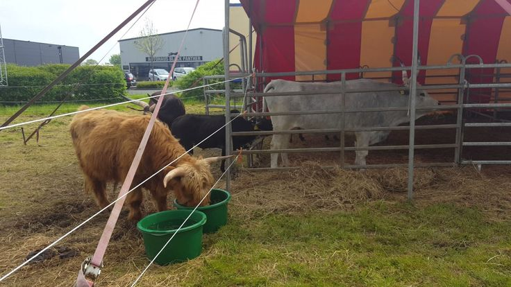 Po występie cyrkowe zwierzęta posiłkują się - Circus Max Renz