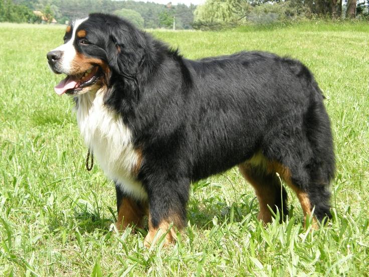 Arabelis - Bernský salašnický pes - FCI Kennel