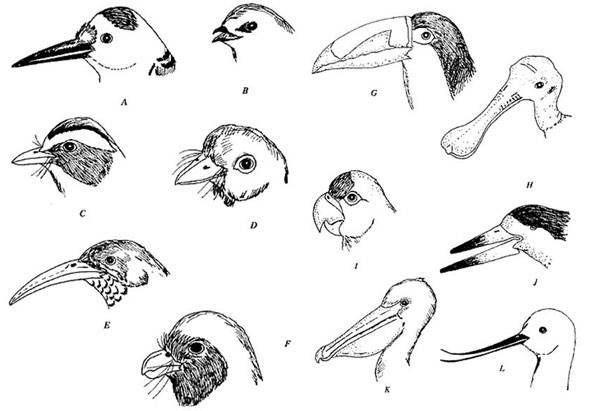 como dibujar un pico de ave
