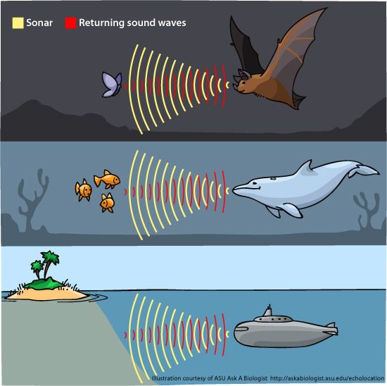 Our Senses Human Sonar Echolocation Illustration Showing How Weve Learnt From Other Species That Live On Planet And Used Their Abilities To Help Us