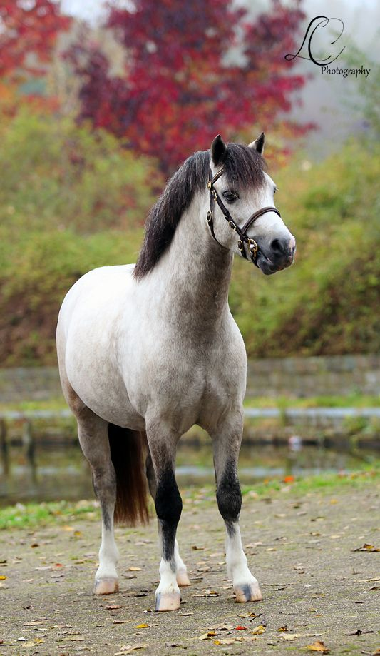 Welsh Pony...he's so cute!!