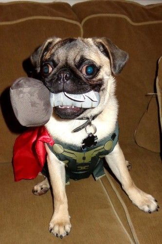 Thor the Pug - Join the Pugs