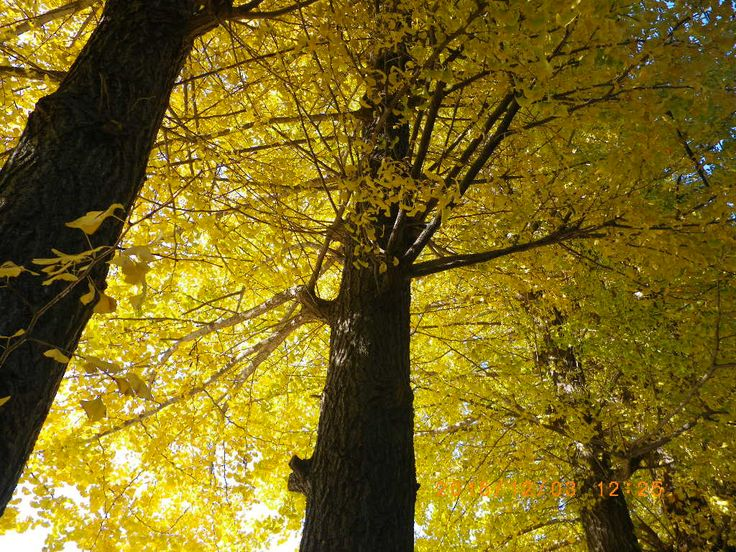 Nature is always beautiful☆ #my photo #stroll #Nature is beautiful #ginkgo