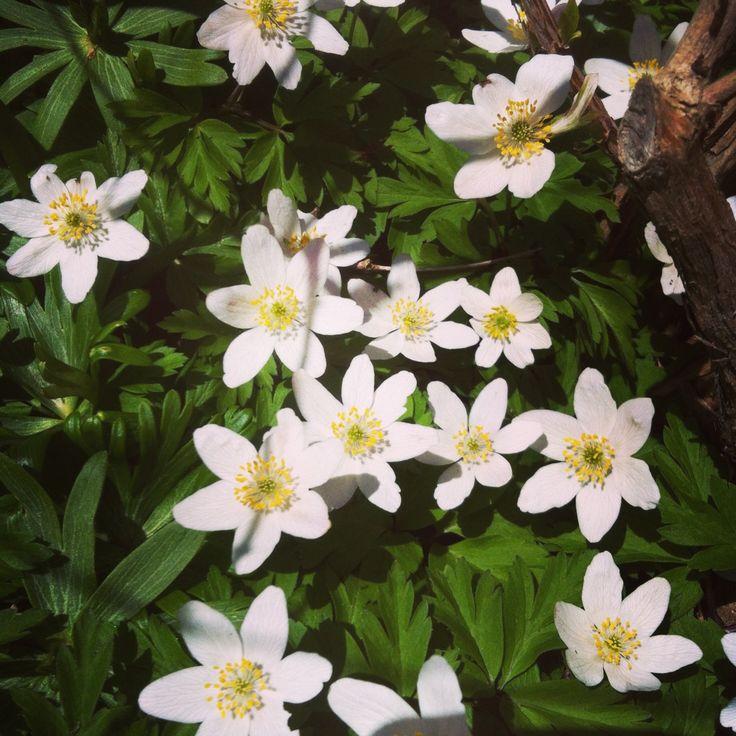 Anemoner...så er det forår