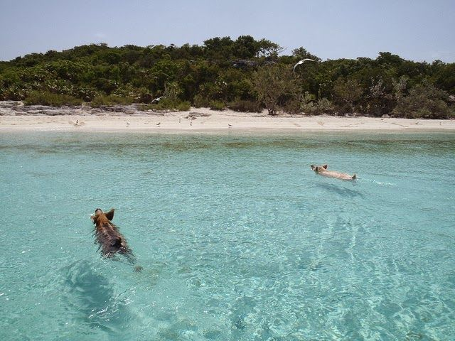 cochons nageurs des bahamas 6   Les cochons nageurs des Bahamas   porc photo natation nageur image ile cochon bahamas