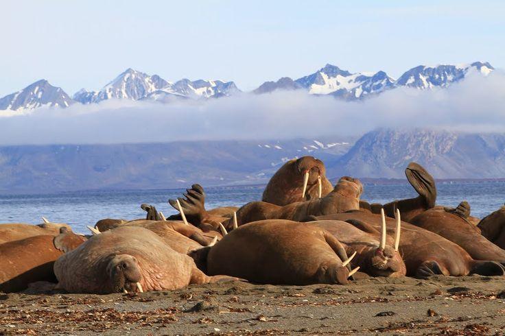 Walruses at Prins Karls Forland