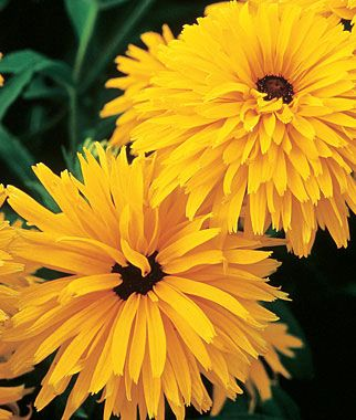 """OMG...MUST grow these...  Gloriosa Daisy, Gloriosa Double Gold  Huge double flowered form of black-eyed-susan.  Rich, golden yellow flowers, 3 ½"""" across, with large, black centers, are produced in profusion on long, sturdy 3 ft high stems"""