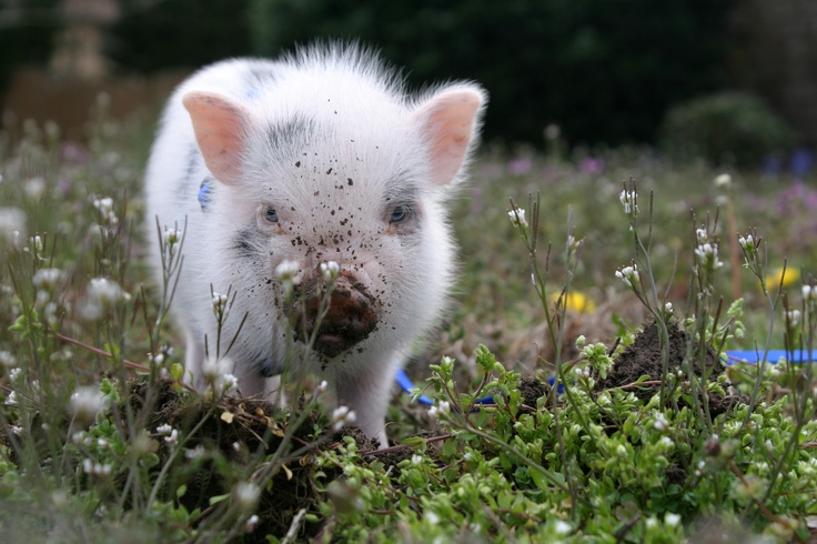 'Cupcake' at Woodhouse Farms by thepecetarianandthepig: Teacup Potbelly Pig! #Pig