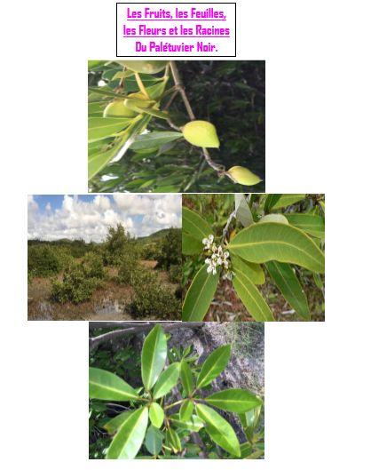 Se défendre: feuilles coriaces et épaisses. Le vernissage de la feuille réfléchit la lumière. les feuilles rejettent aussi l'excès de sel. Les racines aériennes permettent d'oxygéner les racines pour qu'elles ne pourrissent pas.Se reproduire :Les fruits et les Fleurs: les pétales colorés attirent les insectes pollinisateurs-les fruits contiennent des graines qui assurent la dispersion de l'espèce.Se nourrir : La plante a besoin de sels minéraux, d'eau et de lumière pour la photosynthèse.
