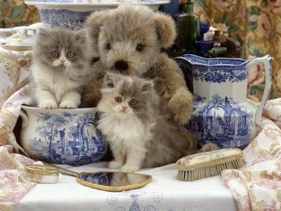 9-Week, Blue Bicolour Persian Kitten, Brindle Teddy Bear and Victorian Staffordshire Wash-Stand Set