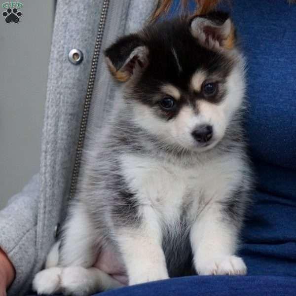 Chloe Pomsky Puppy For Sale In Ohio Pomsky Puppies For Sale Pomsky Puppies Puppies For Sale