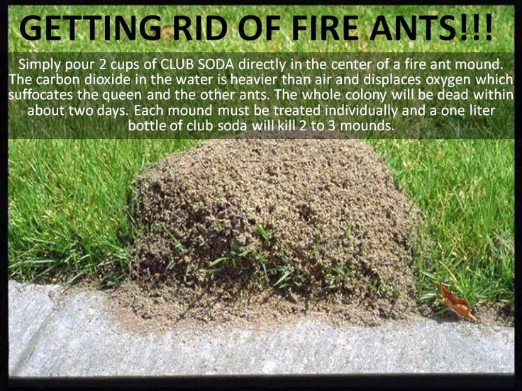 Best 25 Fire Ant Killers Ideas On Pinterest Silver Fish Bug Vicks On Your Feet And The Mosquito