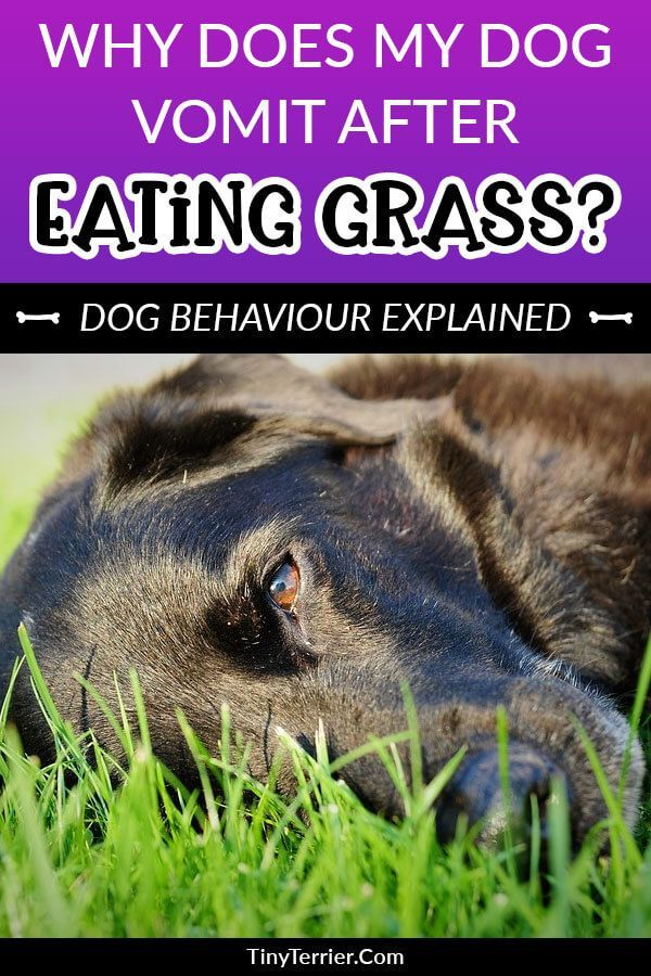 Why Does My Dog Eat Grass Is It Dangerous Tiny Terrier In 2020 Dogs Eating Grass Dog Throwing Up Dog Eating