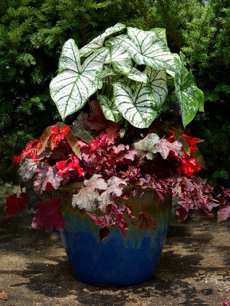 17 best images about folhas iresine on pinterest lorraine lady and container gardening - Container gardens for shade ...