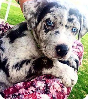 Davenport, IA - Catahoula Leopard Dog. Meet Grover, a puppy for adoption. http://www.adoptapet.com/pet/12785212-davenport-iowa-catahoula-leopard-dog