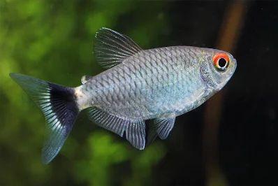 Błyszczyk Parański (Moenkhausia Sanctaefilomenae) – gatunek słodkowodnej ryby z rodziny kąsaczowatych Characidae.  Gatunek słodkowodny, który w warunkach naturalnych zamieszkuje tropikalne, ciche wody, mocno zarośnięte i wolno płynące Brazylii, Paragwaju, Boliwii i Peru (dorzecza Amazonki).