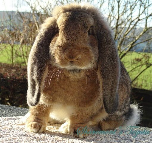 Cute French Lop Bunny - Tor View French Lops, Lancashire, UK