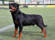 rottweiler es una raza canina de tipo molosoide originaria de Alemania. Era conocido como «perro carnicero de Rottweil» —en alemán: Rottweiler Metzgerhund—