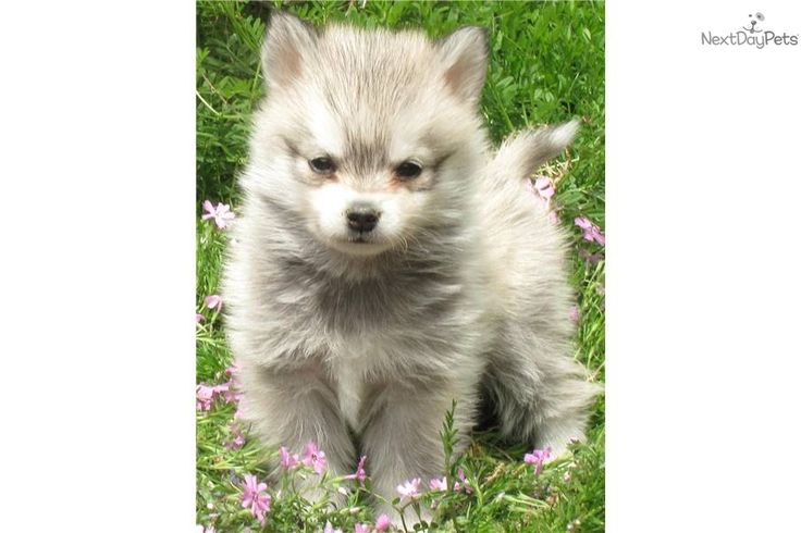 Small Dogs For Sale In Maryland        													Local puppies for sale small dogs for sale dog breeders, Local puppies for sale directory offering information about dog breeds and cat breeds including local breeders and puppies and kittens for sale as well as breeder. 																	Dogs for sale puppies for sale ...