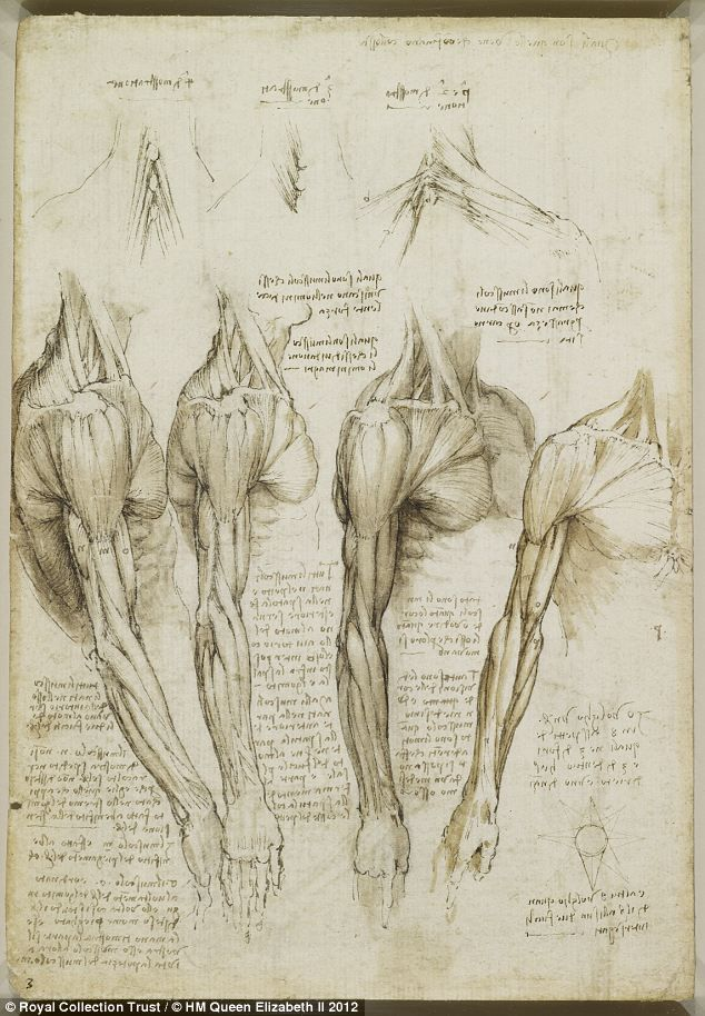 The muscles of the shoulder, arm and neck, c.1510-11: