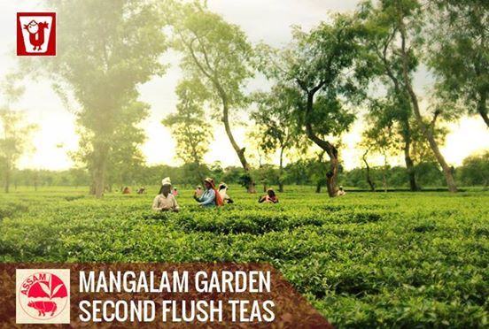 Second Flush or Spring Flush is commonly plucked between May and June as is also very highly regarded as an exceptional tea with prominent character and delicious flavour. It is famed for its fuller and more rounded taste and the bright liquor that appears when it is infused.
