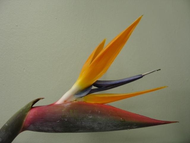 Bird of Paradise. www.scrimsflorist.com