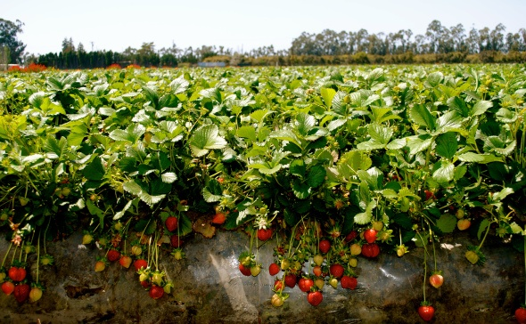 strawberry fields in southern California