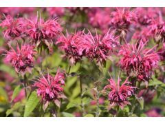 """Monarda """" Balance """" - monarda, zavinutka Zahradnictví Krulichovi - zahradnictví, květinářství, trvalky, skalničky, bylinky a koření"""