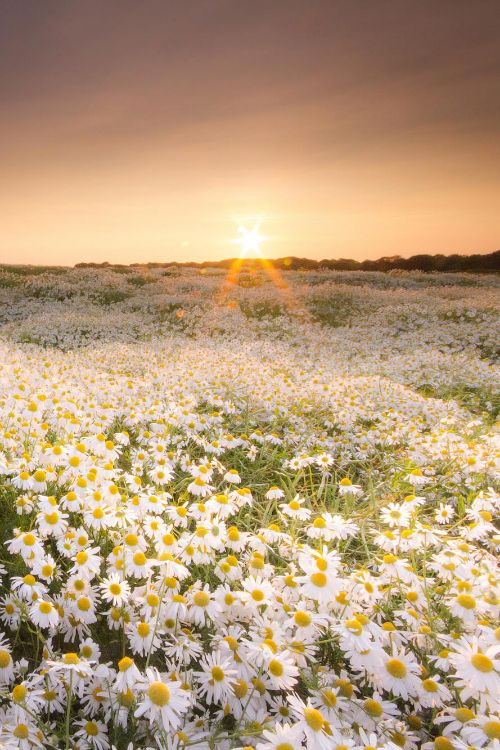 expressions-of-nature:  The Daisy Field by: Anita Nicholson
