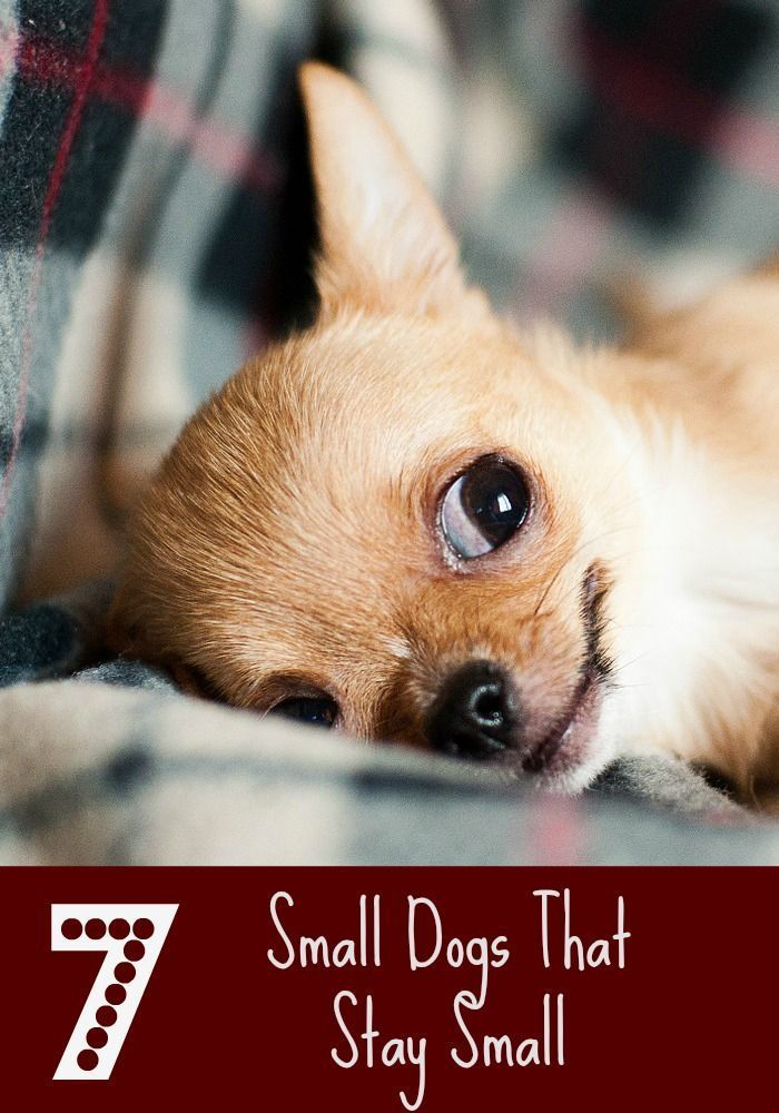 7 Small Dogs That Stay Small With Images Miniature Dog Breeds