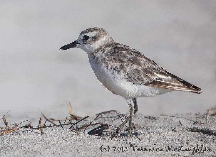 This is the New Zealand Dotterel, highly endangered with a mere 1700 birds still wading the the shoreline in the wild. They nest in the sand, leaving their eggs and young vulnerable to all the intruders that have taken up residency in this country from rats and stoats to cats and dogs and people wandering across the sand…    So a real delight to spot this beauty on Pakiri Beach on the east coast about an hour north of Auckland this past weekend. She was happy to stop and pose for pictures.