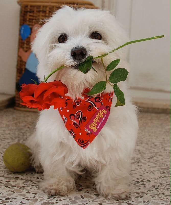 Maltese Maltese Dog Maltese Puppy Maltese Puppies Maltese
